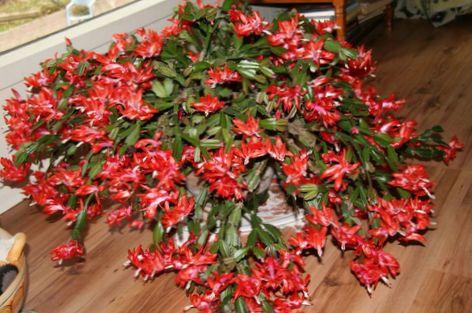 Rouge plante cactus de no l photo for Plante noel rouge