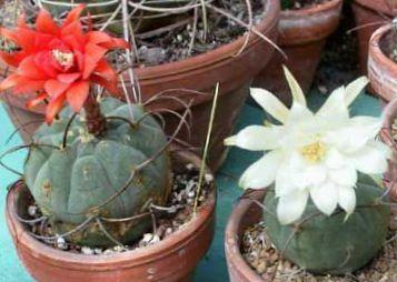 blanc plante matucana photo le cactus du d sert. Black Bedroom Furniture Sets. Home Design Ideas