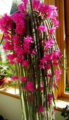 Rosa zimmerpflanze rattenschwanz kaktus foto kakteenwald - Kaktus zimmerpflanze ...