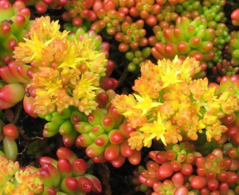 jaune plante sedum photo les plantes succulents. Black Bedroom Furniture Sets. Home Design Ideas