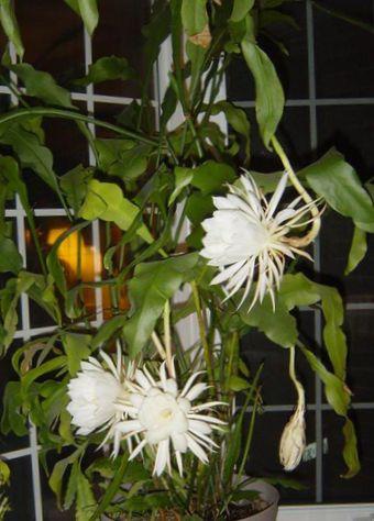 Wei zimmerpflanze band kaktus orchidee kaktus foto kakteenwald - Kaktus zimmerpflanze ...