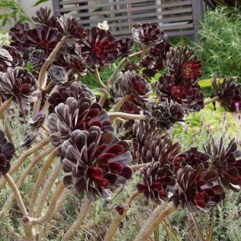 blanc plante d 39 int rieur velours rose usine de soucoupe aeonium photo les plantes succulents. Black Bedroom Furniture Sets. Home Design Ideas