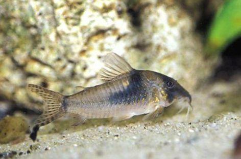 C?tkowany Ryba PoLnocna Longnose Cory zdj?cie