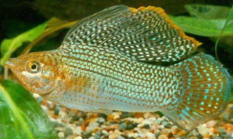 Sailfin mollies fish