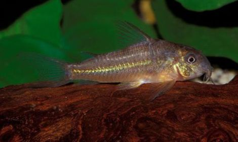 Braun Fisch Scleromystax Prionotos foto