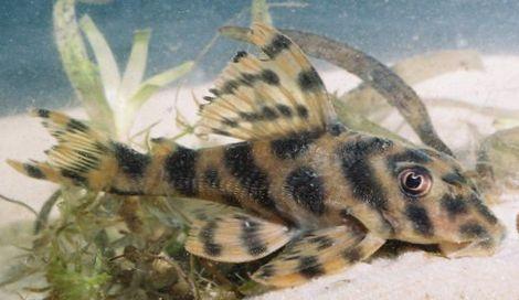 Fish Tiger Banded Peckoltia