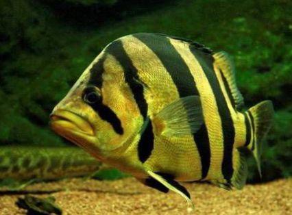 Gestreift fisch tiger barsch foto for Fisch barsch
