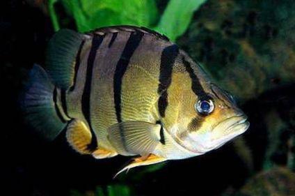 Striped fish tiger perch photo for Tiger striped fish