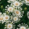 white Flower African Daisy, Cape Daisy photo