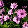 pink Flower African Daisy, Cape Daisy photo
