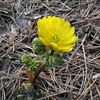 yellow Amur Adonis