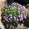 lilac Flower Aubrieta, Rock Cress photo
