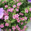 pink Flower Bacopa (Sutera) photo