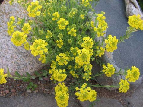 Amarillo flor canasta de oro foto for Planta decorativa venenosa