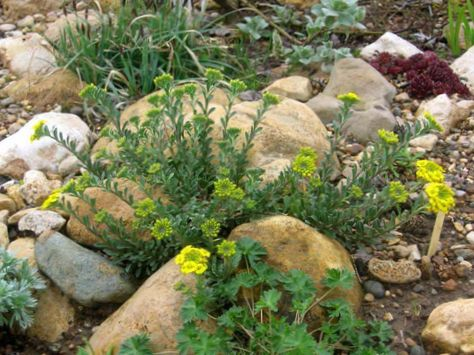 Amarillo flor canasta de oro foto for Planta venenosa decorativa