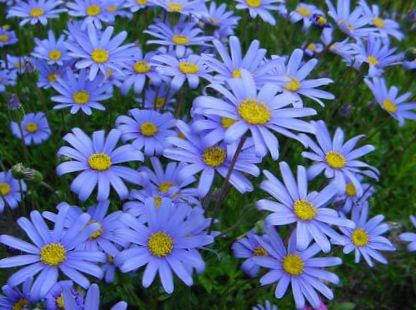 Цветок фелиция фото
