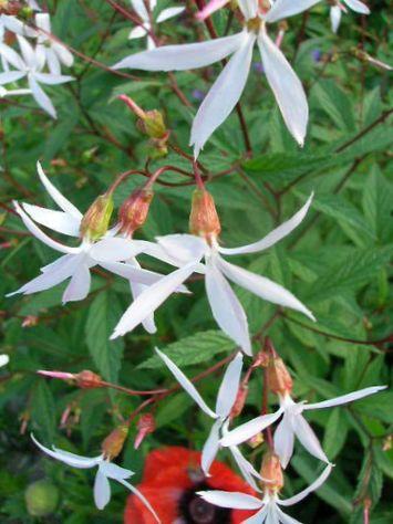 Blanco flor ra z bowmans foto for Planta decorativa venenosa