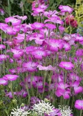 Lila flor berberecho de ma z foto for Planta venenosa decorativa