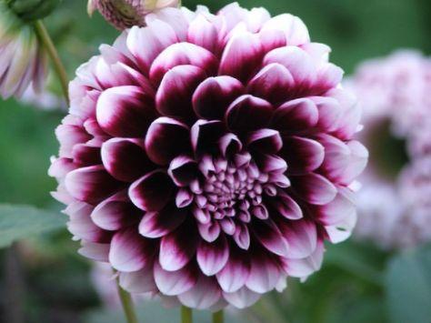 Blume Dahlie foto