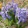 light blue Flower Dutch Hyacinth photo