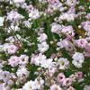 pink Flower Gypsophila photo