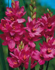 Rosa flor ixia foto for Planta venenosa decorativa