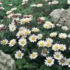 white Flower Mount Atlas Daisy, Mt. Atlas Daisy, Pellitory, Spanish Chamomile photo