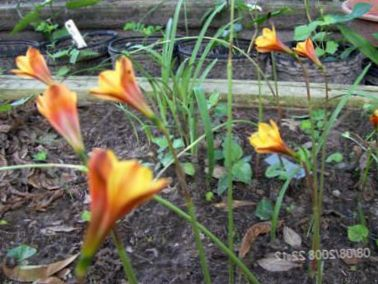 Naranja flor lirio lluvia foto for Planta venenosa decorativa