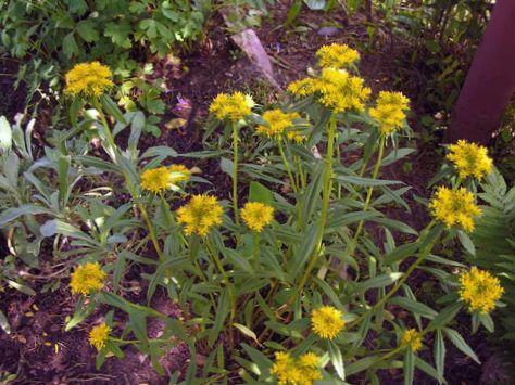 Amarillo flor aizoon sedum foto for Planta venenosa decorativa