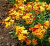 orange  Wallflower, Cheiranthus photo