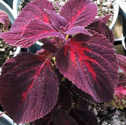 Vineux plante coleus ortie flamme l 39 ortie peint photo for Les plantes decoratives