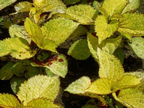 Jaune plante coleus ortie flamme l 39 ortie peint photo for Les plantes decoratives