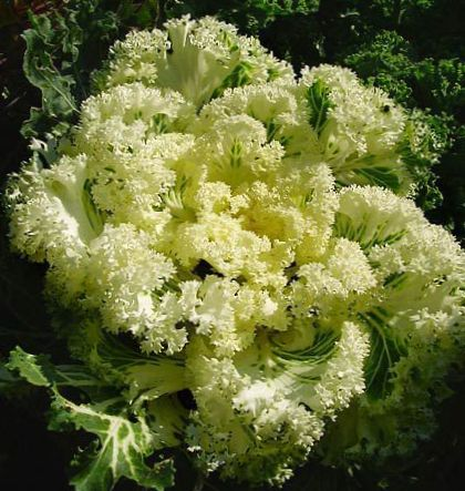 Yellow plant flowering cabbage ornamental kale collard for Ornamental grass with yellow flowers