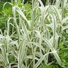 multicolor Plant Giant Reed photo (Cereals)