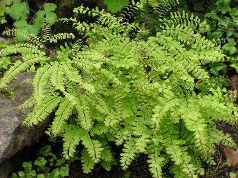 Clair vert plante nord adiante cinq doigts foug re for Plante 5 doigts bahamas