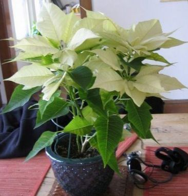 Blanc plante poinsettia buena noche fleur de no l for Les plantes decoratives
