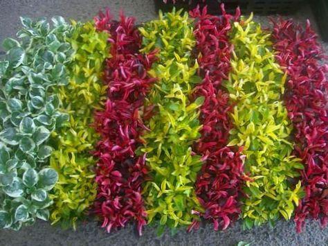 Vineux plante d 39 int rieur alternanthera photo des arbustes for Plante arbuste interieur