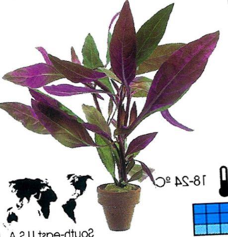 Pourpre plante d 39 int rieur alternanthera photo des arbustes for Plante arbuste interieur