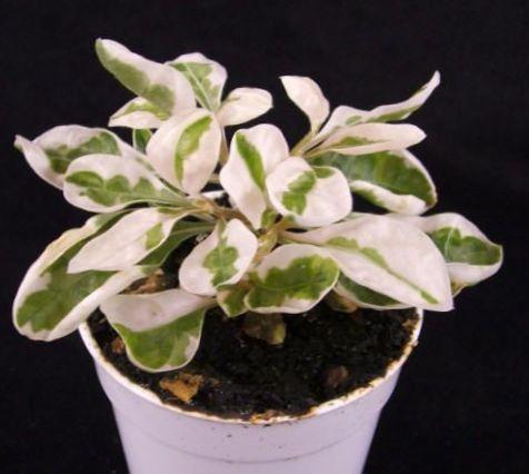 Bigarr plante d 39 int rieur alternanthera photo des arbustes for Plante arbuste interieur