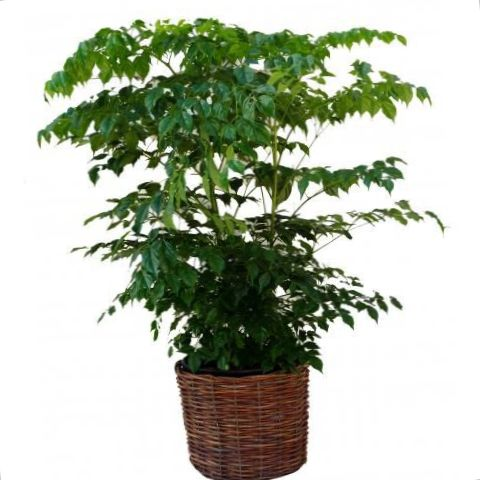 Vert plante d 39 int rieur china doll photo des arbustes - Plante arbre interieur ...