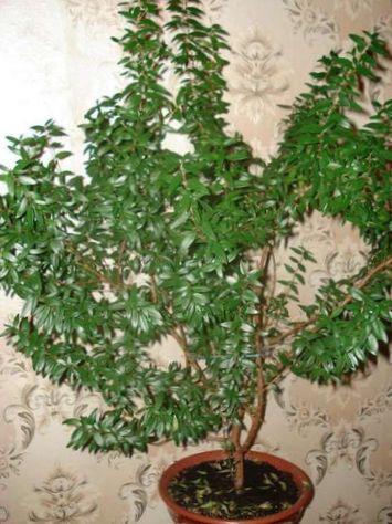 Vert plante d 39 int rieur myrte commun photo des arbustes for Plante arbuste interieur