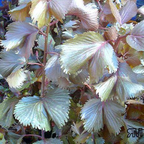 Houseplant Fire Dragon Acalypha Hoja De Cobre Copper Leaf Photo