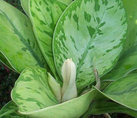 Gr n homalomena foto grasig - Pfeffer zimmerpflanze ...