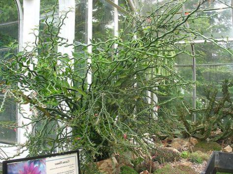 vert plante d 39 int rieur jacobs chelle diables pine dorsale photo des arbustes. Black Bedroom Furniture Sets. Home Design Ideas