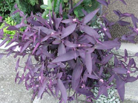 Purple purple heart wandering jew photo hanging plant - Purple wandering jew plant ...