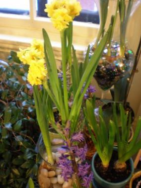 Jaune fleur amaryllis photo herbeux for Amaryllis jaune