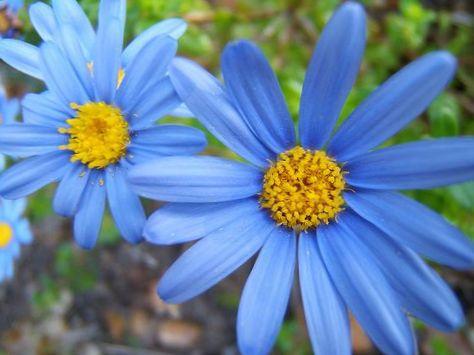 Фелиция цветы выращивание 69