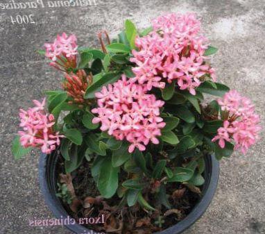 Rose fleur pot cass prince d 39 orange photo des arbustes - Nom de fleur en anglais ...
