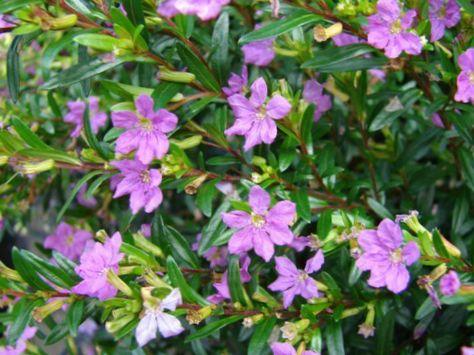buske lila blommor