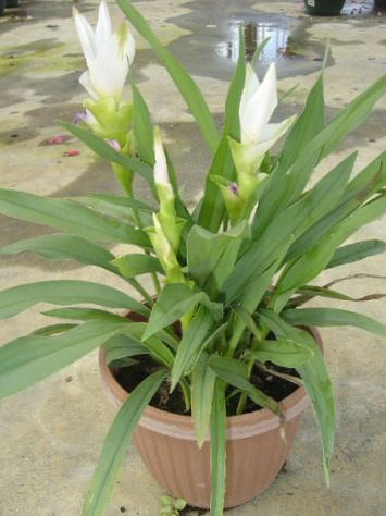 Blanc fleur curcuma photo herbeux for Plante interieur curcuma